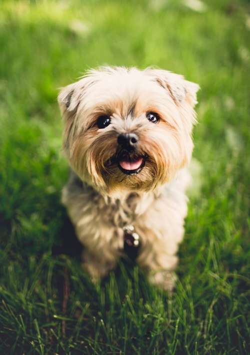 Adorable Animal Breed Canine Cute Dog Domestic