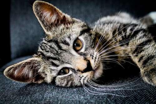 Adorable Animal Cat Feline Pet Whiskers