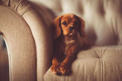 Adorable Animal Canine Close-Up Couch Cute Dog