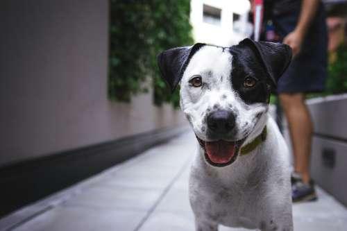 Adorable Dog Animal Breed Cute Eyes Looking