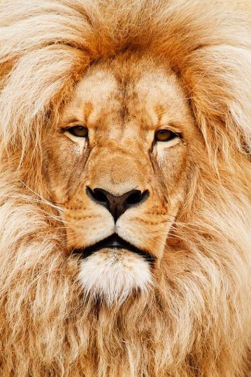 Africa African Animal Cat Close-Up Detail Eye
