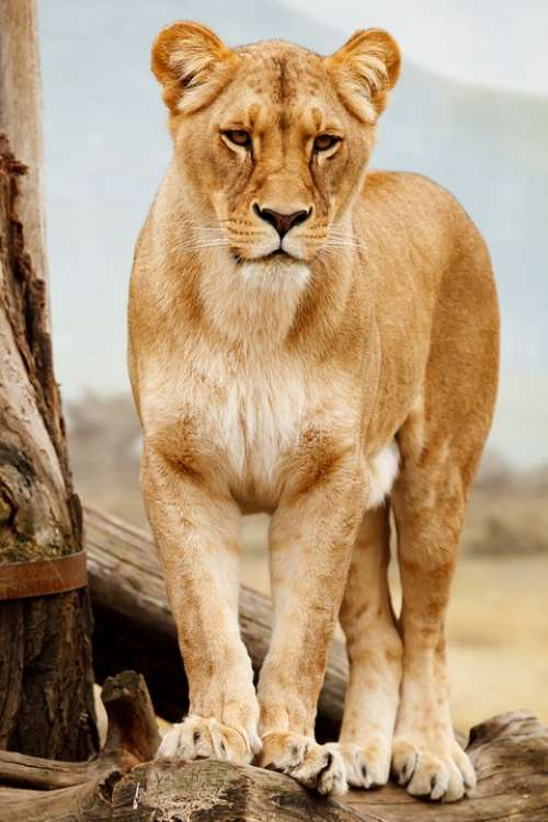Africa African Animal Big Carnivore Cat Feline
