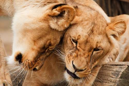 Africa Animal Big Carnivore Cat Couple Cuddle