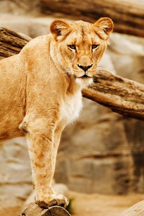 Africa Animal Big Carnivore Cat Eyes Head Lion