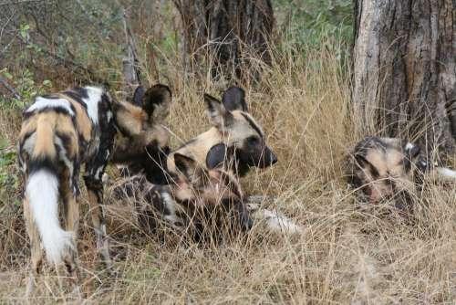 African Wild Dog Africa Nature Wildlife Kruger