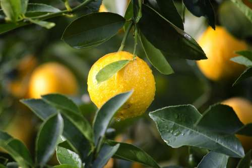 Agriculture Lemon Fruit Citrus Close-Up Crop Food