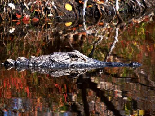 Alligator Reptile Water Nature Wildlife Outdoors