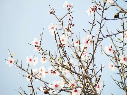 Almond Blossom February Almond Tree Blossom Bloom