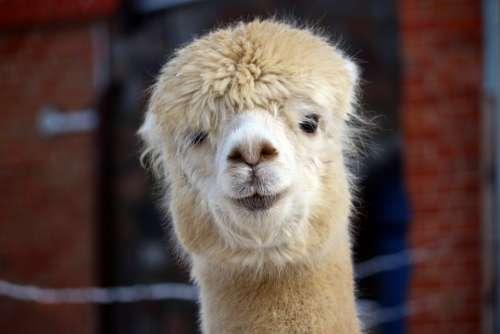 Alpaca Animal Fluffy