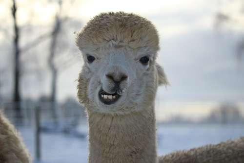 Alpaca Animal Wool