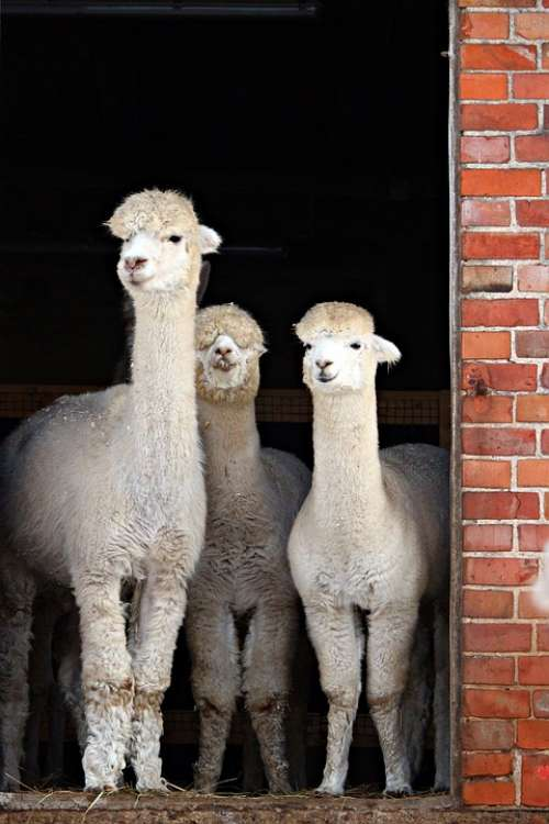 Alpaca Animal Stall Farm
