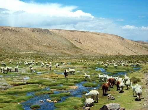 Alpaca Peru Flame Field Alpacas Field Of Flames