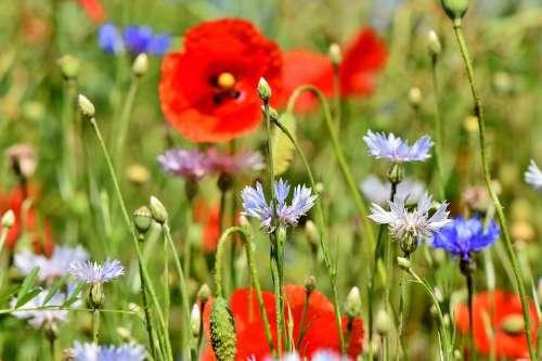 Alpine Cornflower Cornflowers Flowers