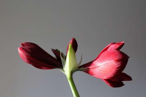 Amaryllis Plant Blossom Bloom Amaryllis Plant Red