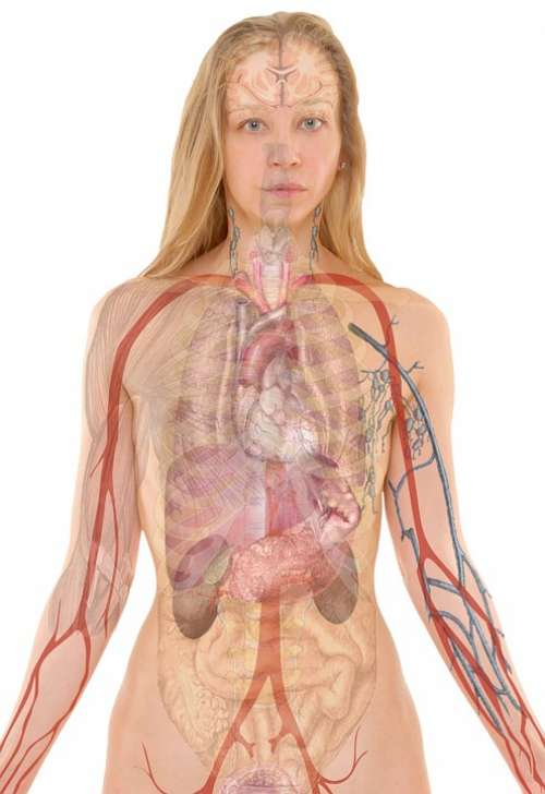Anatomy Woman Human Body Skin Organs Schema Lung