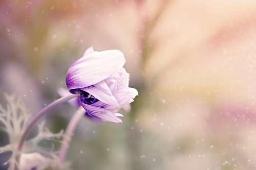 Anemone Flower Violet-White Blossom Bloom