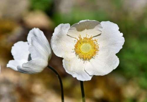 Anemone Florets Blossom Bloom Spring Flower Bloom