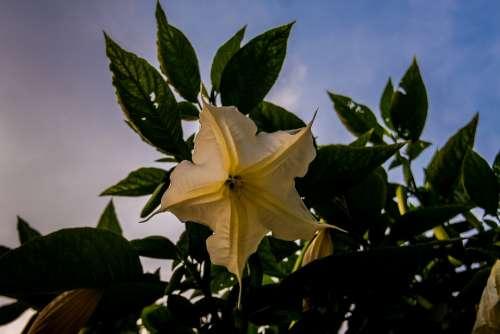 Angel Trumpet Flower Evening Light Blossom Bloom