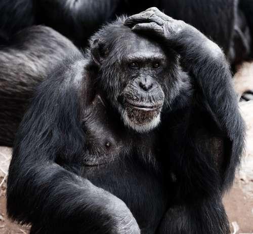 Animal Ape Black Clever Face Hands Intelligence