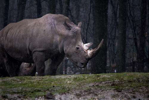 Animal Forest Nature Rhino Rhinoceros Wild Animal