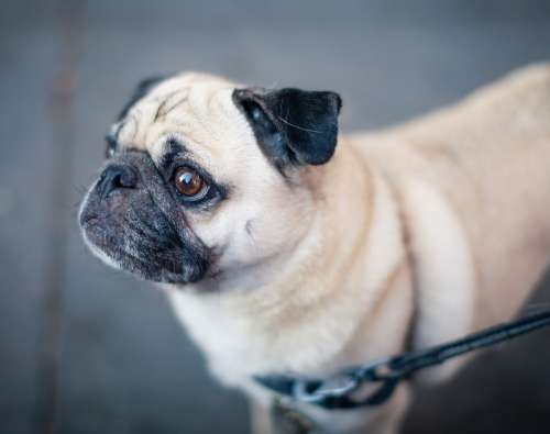 Animal Dog Leash Pet Pug Canine