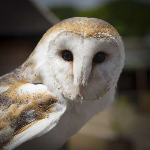 Animal Barn Owl Bird Close-Up Macro Owl Wildlife