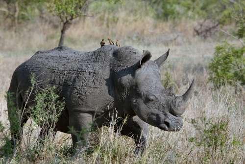 Animal Grass Horn Rhinoceros Savanna Wildlife