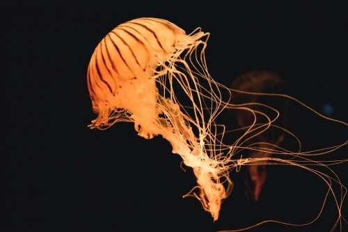 Animal Jellyfish Ocean Sea Underwater