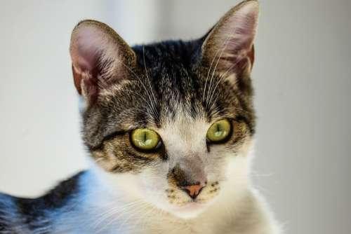 Animal Cat Close-Up Feline Pet Tabby