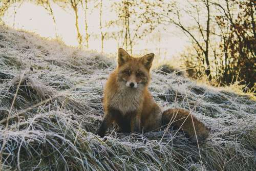 Animal Forest Fox Nature Wildlife