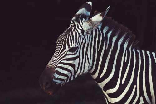 Animal Zebra Nature Savanna Stripes Wildlife