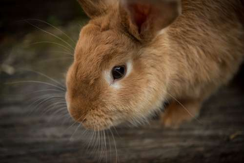 Animal Bunny Close-Up Cute Pet Rabbit Whiskers