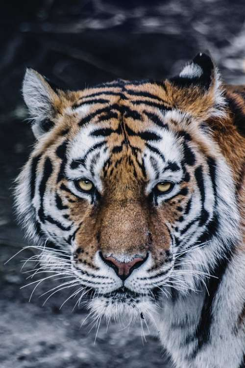 Animal Big Cat Close-Up Feline Predator Tiger