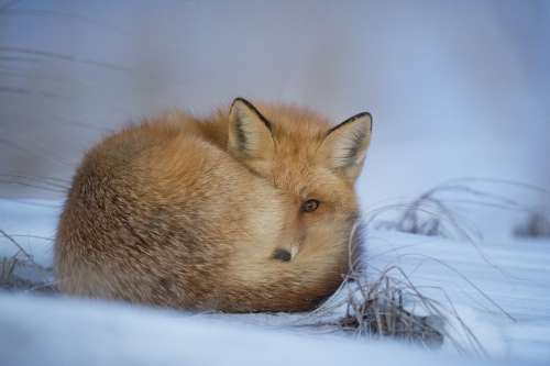 Animal Fox Canine Cold Cute Daylight Frosty Fur