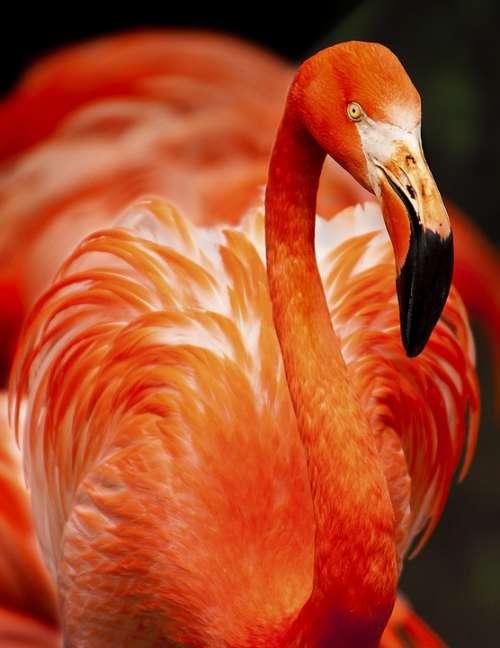 Animal Flamingo Avian Beak Beautiful Bird