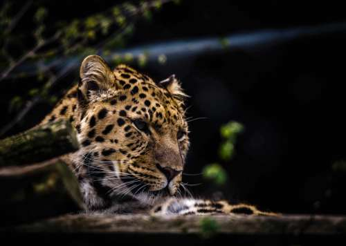 Animal Leopard Big Cat Wild Cat Wildlife