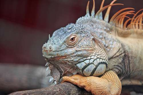 Animal Iguana Lizard Close-Up Exotic Macro