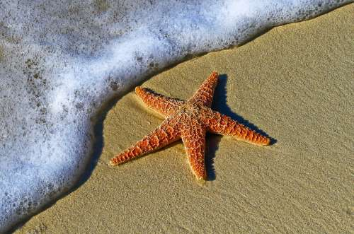 Animal Starfish Beach Coast Echinoderm