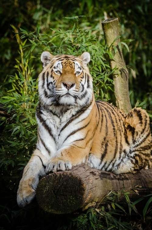 Animal Tiger Big Cat Carnivore Cat Close-Up