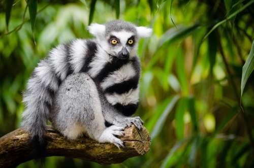 Animal Lemur Jungle Blur Close-Up Endangered