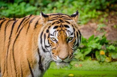 Animal Tiger Big Cat Blur Carnivore Cat Close-Up