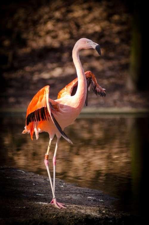 Animal Flamingo Bird Feathers Outdoors Plumage