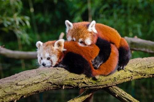 Animal Red Panda Cuddle Cute Environment Fur
