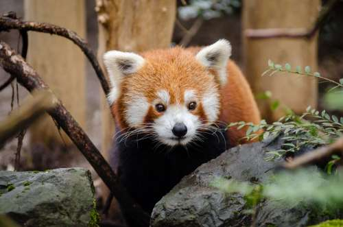 Animal Red Panda Cute Wildlife Zoo