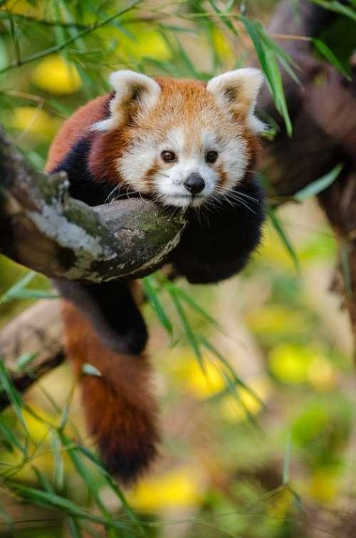 Animal Red Panda Cute Tree Wildlife Zoo