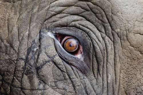 Animal Elephant Eye Big Close-Up Endangered Grey