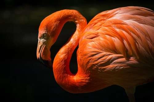 Animal Flamingo Avian Beautiful Bird Close-Up