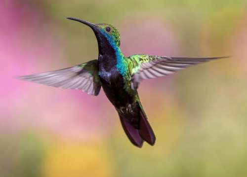 Animal Hummingbird Avian Bird Feathers Flight Fly
