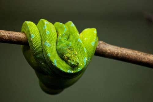 Animal Python Snake Reptile Wildlife Green