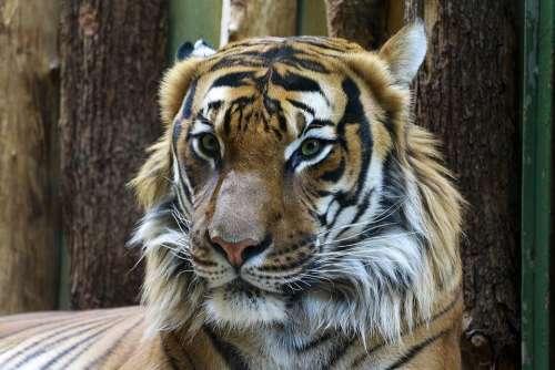 Animal Tiger Beautiful Portrait Zoo Big Cat